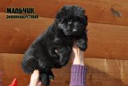 02_Puppies_Uragan_Shalle_Black_Boy