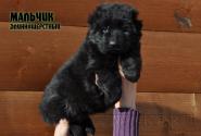 03_Puppies_Uragan_Shalle_Black_Boy