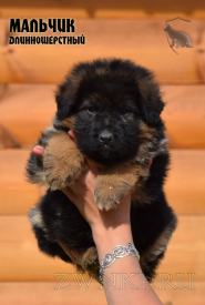 04_Puppies_Uragan_Shalle_Boy