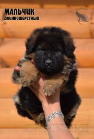 04_Puppies_Uragan_Shalle_Boy