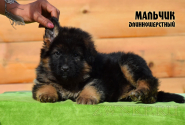 05_Puppies_Uragan_Shalle_Boy
