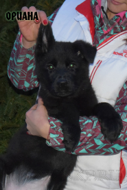 08_Puppies_Uragan_Shalle_ORIANA