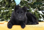 10_Puppies_Uragan_Shalle_ORIANA