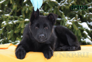 10_Puppies_Uragan_Shalle_ORIANA