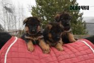 14_Puppies_Waiko_Ichi_Girls