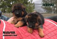 15_Puppies_Waiko_Ichi_Girl_Boy_LH