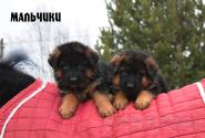 18_Puppies_Waiko_Ichi_Boys
