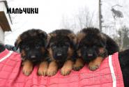 19_Puppies_Waiko_Ichi_Boys