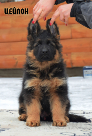 08_Puppies_Garry_Roxana_CEJLON_LH