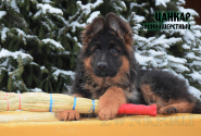 21_Puppies_Garry_Roxana_CANKAR_LH