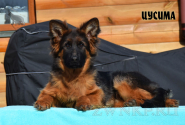 26_Puppies_Garry_Roxana_CUSIMA_LH