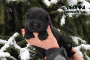 03_Puppies_Uragan_Tigris_Girl_LH