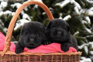 06_Puppies_Uragan_Tigris_2