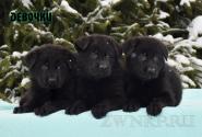 10_Puppies_Uragan_Tigris_2_GIRLS