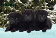 11_Puppies_Uragan_Tigris_2_GIRLS