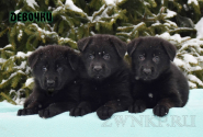 13_Puppies_Uragan_Tigris_2_GIRLS