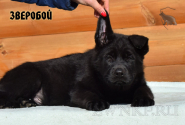 14_Puppies_Uragan_Tigris_2_ZVEROBOY