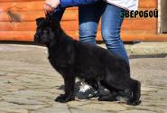 15_Puppies_Uragan_Tigris_2_ZVEROBOY