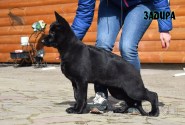 18_Puppies_Uragan_Tigris_2_ZADIRA