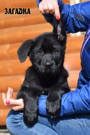 19_Puppies_Uragan_Tigris_2_ZAGADKA