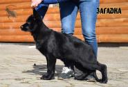 20_Puppies_Uragan_Tigris_2_ZAGADKA