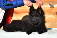 21_Puppies_Uragan_Tigris_2_ZODIAK_LH