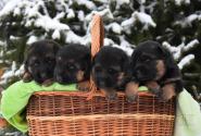 02_Puppies_Bacho_Yosha