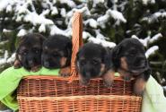 03_Puppies_Bacho_Yosha