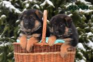 04_Puppies_Bacho_Yosha_GIRLS