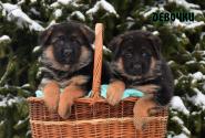 05_Puppies_Bacho_Yosha_GIRLS