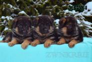 06_Puppies_Bacho_Yosha_GIRLS