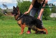 08_Puppies_Bacho_Yosha_YAKATA_LH