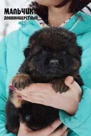 08_Puppies_Ekaraj_Zeyna_BOY_LH