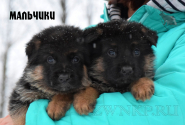 09_Puppies_Ekaraj_Zeyna_BOYS