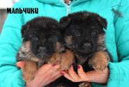 10_Puppies_Ekaraj_Zeyna_BOYS