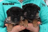 11_Puppies_Ekaraj_Zeyna_BOYS