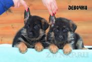 12_Puppies_Ekaraj_Zeyna_GIRLS