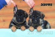 13_Puppies_Ekaraj_Zeyna_GIRLS