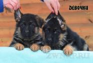 14_Puppies_Ekaraj_Zeyna_GIRLS