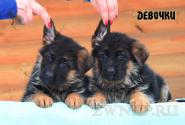 15_Puppies_Ekaraj_Zeyna_GIRLS