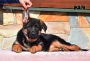 18_Puppies_Ekaraj_Zeyna_ZHARA
