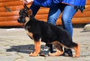 19_Puppies_Ekaraj_Zeyna_ZHARA