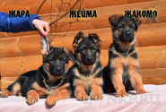 20_Puppies_Ekaraj_Zeyna_ZHARA_ZHEJMA_ZHAKOMO