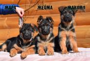 21_Puppies_Ekaraj_Zeyna_ZHARA_ZHEJMA_ZHAKOMO