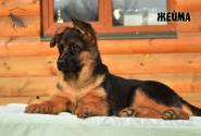 26_Puppies_Ekaraj_Zeyna_ZHEJMA