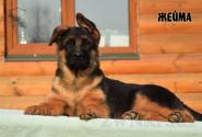 28_Puppies_Ekaraj_Zeyna_ZHEJMA