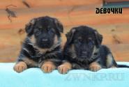 13_Puppies_Bacio_Bakkara_GIRLS