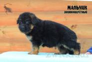 14_Puppies_Bacio_Bakkara_BOY_LH