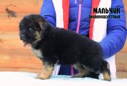 15_Puppies_Bacio_Bakkara_BOY_LH