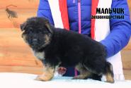 16_Puppies_Bacio_Bakkara_BOY_LH